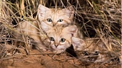 Детеныши барханных котов