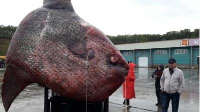 В России поймали гигантскую рыбу-луну весом 1100 кг
